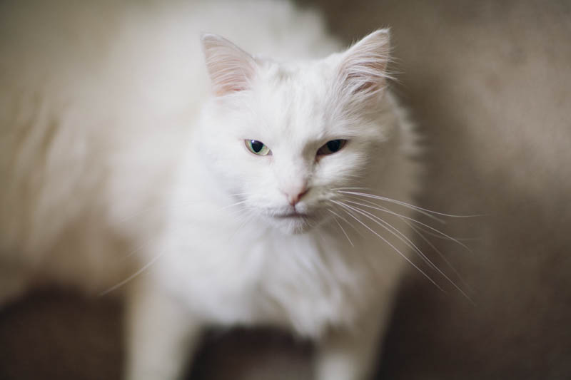 Portrait of a white cat, portrait session with the youthful Sunny. Lika Banshoya